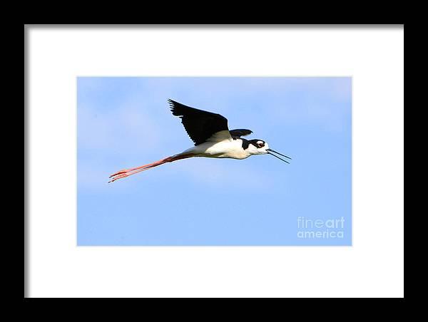 Bird Framed Print featuring the photograph Black Necked Stilt by Dennis Hammer
