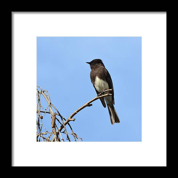 Phoebe Framed Print featuring the photograph Black Phoebe 2 by David Hohmann