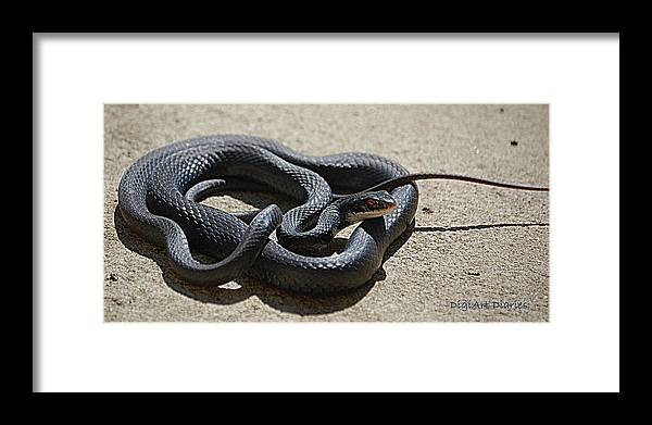 Snake Framed Print featuring the digital art Black Racer by DigiArt Diaries by Vicky B Fuller
