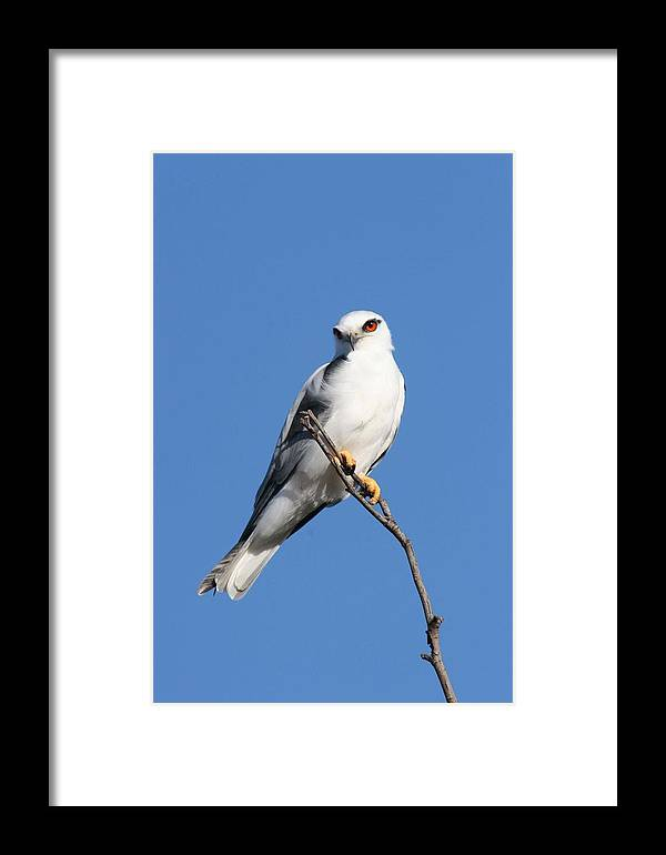 Osprey Framed Print featuring the photograph Black-shouldered Kite by Tony Brown