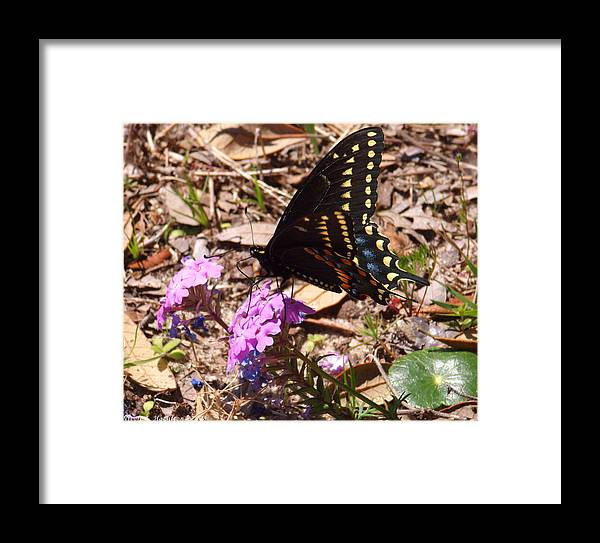 Butterfly Framed Print featuring the photograph Black Swallowtail Butterfly by Nicole I Hamilton