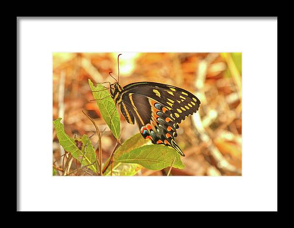 Black Swallowtail Butterfly Framed Print featuring the photograph Black Swallowtail by Thomas Kaestner