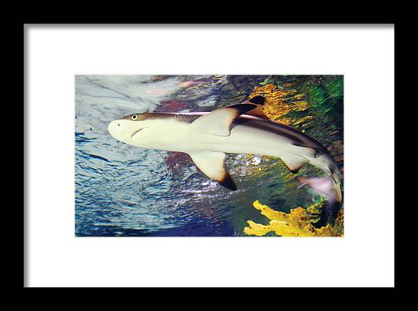 Black Tipped Reef Shark Framed Print featuring the photograph Black Tipped Reef Shark by Steve Somerville