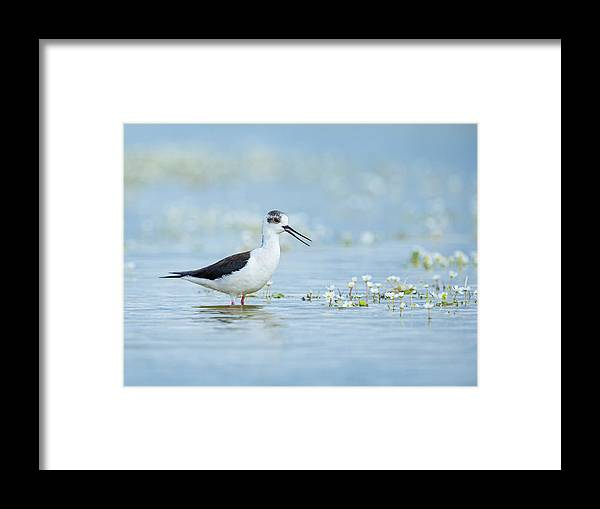 Spain Framed Print featuring the photograph Black-winged Stilt by Alan Grant