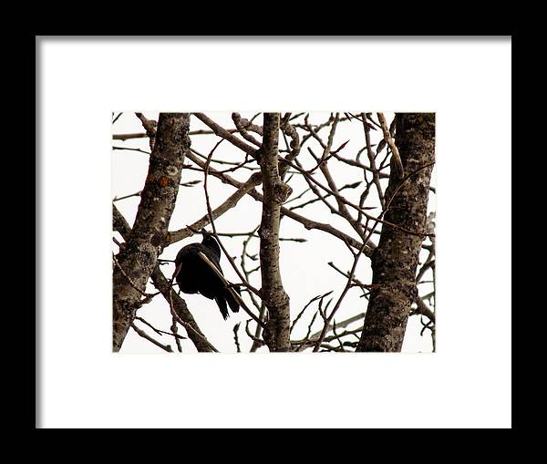 Blackbird Framed Print featuring the photograph Blackbird In A Tree by William Tasker