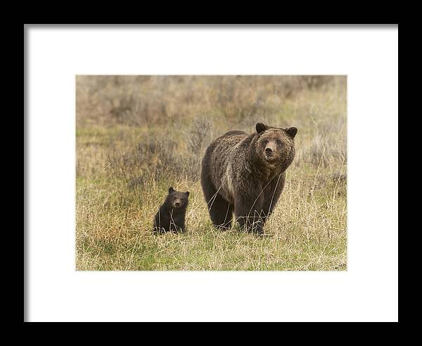 Bear Framed Print featuring the photograph Blaze And Babe by Amy Gerber