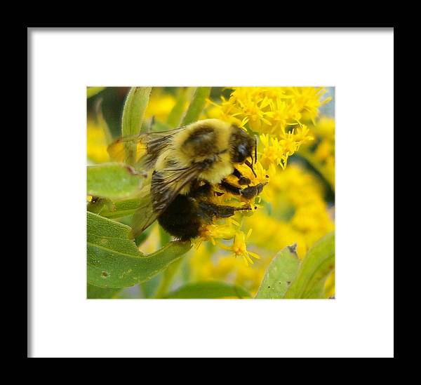 Bee Framed Print featuring the photograph Blending In by Sara Raber