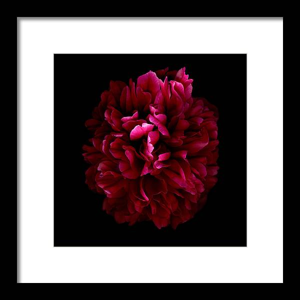 Burgundy & Black Framed Print featuring the photograph Blood Red Peony by Deborah J Humphries