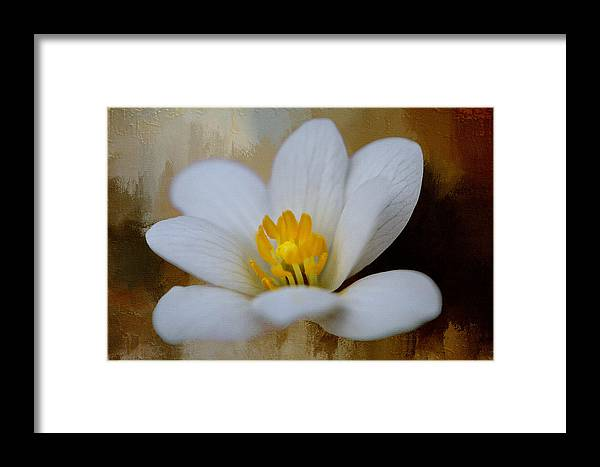 Flowers & Plants Framed Print featuring the photograph Bloodroot by Diana Boyd