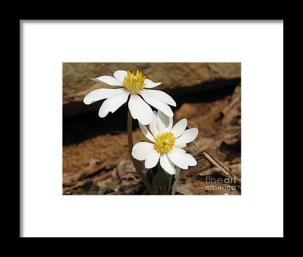 Bloodroot Framed Print featuring the photograph Bloodroot by Steve Gass