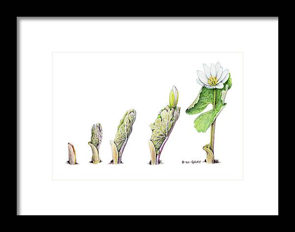 Bloodroot Framed Print featuring the drawing Bloodroot Unfolding II by Betsy Gray