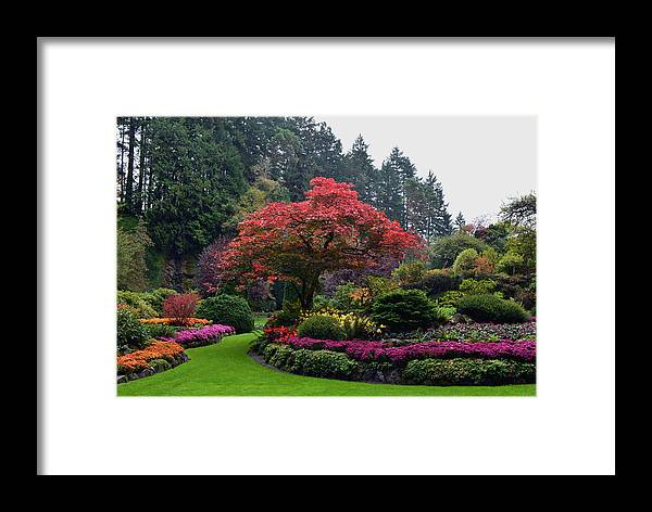 Maple Tree Framed Print featuring the photograph Bloomin' Lovely by Richard Andrews