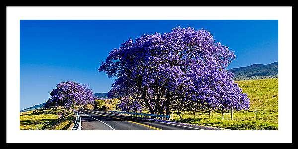 Blooming Jacaranda trees along the Highway by Nature  Photographer