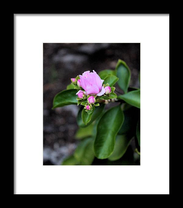 Nature Framed Print featuring the photograph Blossom In Pink by Traditionally Unique Photography