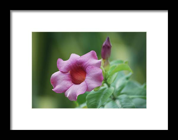 Flower Framed Print featuring the photograph Blossom Of Allamanda by Michael Peychich