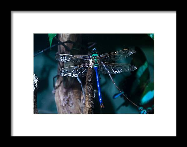 Blue Framed Print featuring the photograph Blue And Green Dragonfly by Douglas Barnett