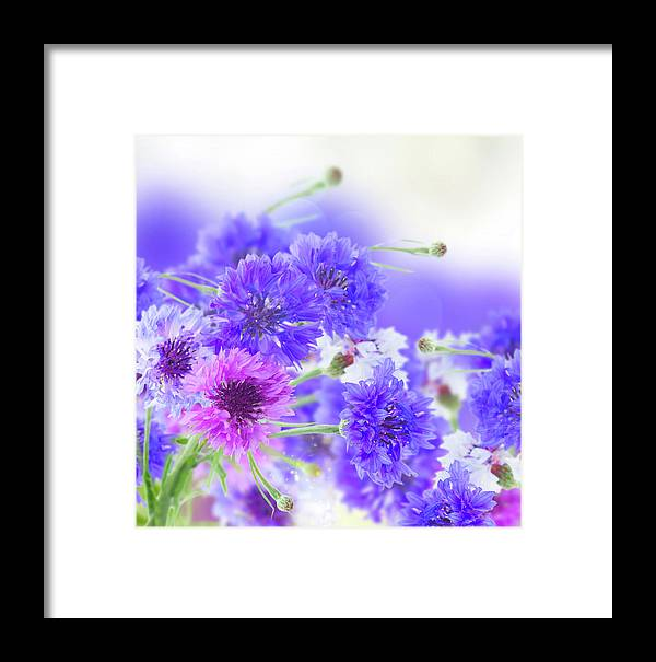 Cornflower Framed Print featuring the photograph Blue And Violet Cornflowers by Anastasy Yarmolovich