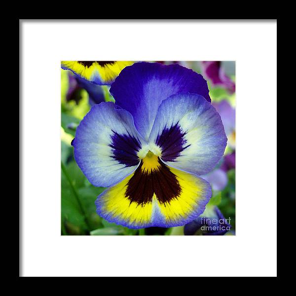Flowers Framed Print featuring the photograph Blue And Yellow Pansy by Nancy Mueller