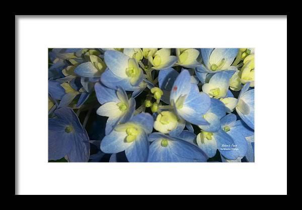 Hydrangeas Framed Print featuring the photograph Blue Butterflies by Maxine Billings