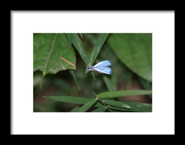 Nature Framed Print featuring the photograph Blue Butterfly by Heather Green