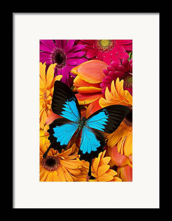 Butterfly Tulips Daisy�s Framed Print featuring the photograph Blue Butterfly On Brightly Colored Flowers by Garry Gay