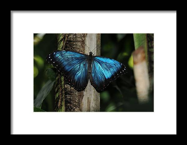 Blue Butterfly Image Print Photograph For Sale Limited Edition Framed Print featuring the photograph Blue Butterfly by Patrick Short