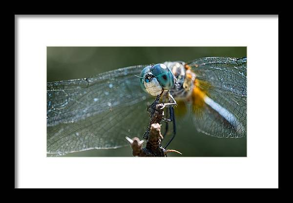 Dragonfly Framed Print featuring the photograph Blue Dasher Dragonfly by Brad Boland