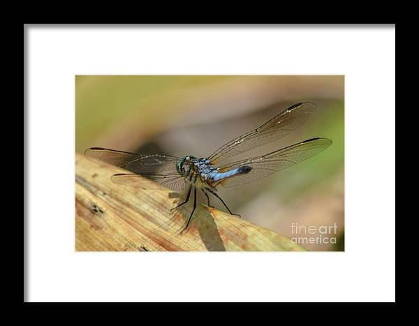 Blue Framed Print featuring the photograph Blue Dasher On Old Leaf by Mary Ann Artz