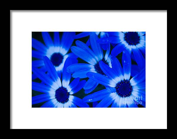 Blue Eye Flower Framed Print featuring the photograph Blue Daisies, Medford Oregon by Tirza Roring