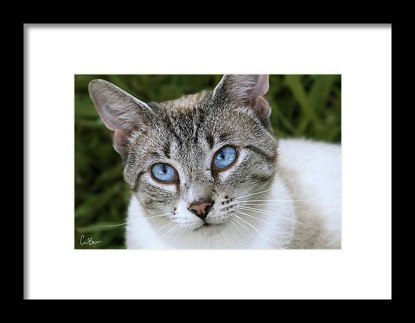 Siamese Framed Print featuring the photograph Blue Eyes by Cara Bevan