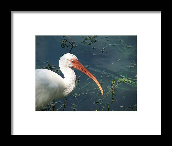 Ibis Framed Print featuring the photograph Blue Eyes by Judy Waller