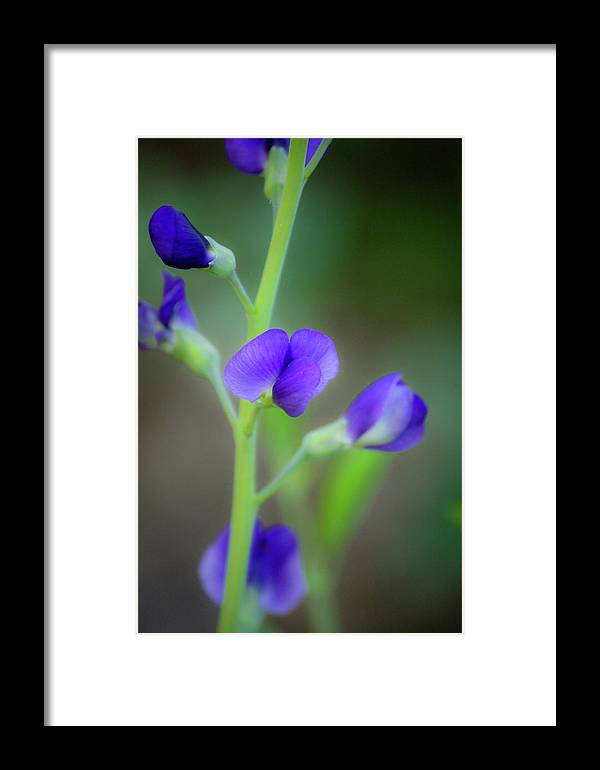 False Indigo Framed Print featuring the photograph Blue False Indigo by Teresa Mucha