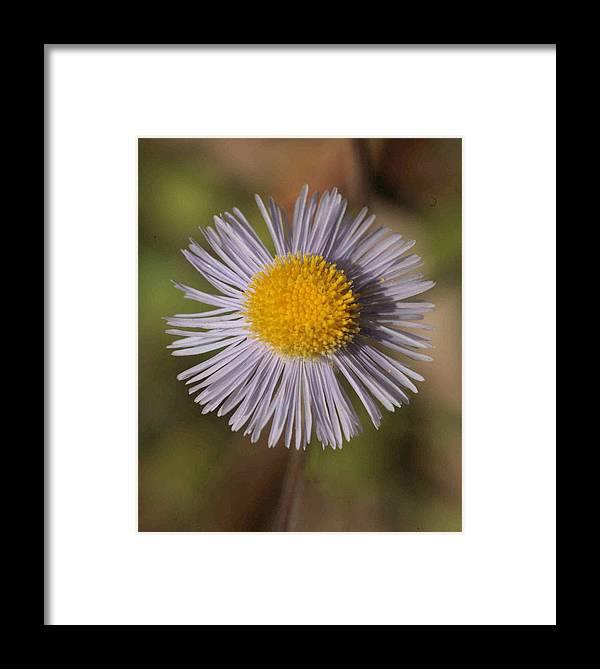Composite Framed Print featuring the photograph Blue Fleabane by Matt Cormons