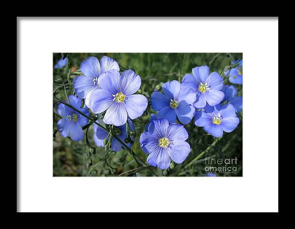 Flowers Framed Print featuring the photograph Blue Flowers In The Sun by Todd Blanchard