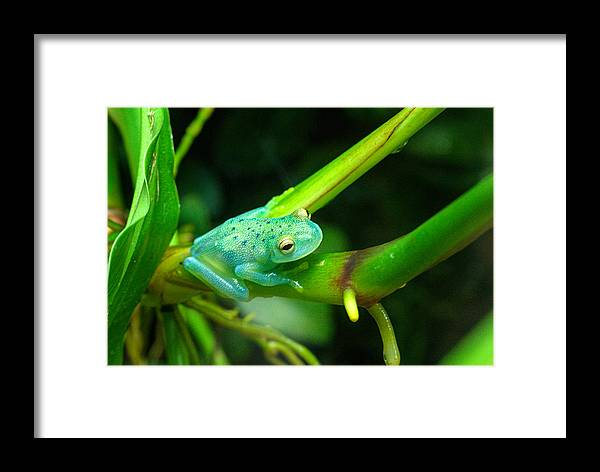 Blue Framed Print featuring the photograph Blue-green Tropical Frog by Douglas Barnett