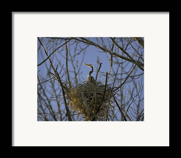 Beautiful Photos Framed Print featuring the photograph Blue Heron 30 by Roger Snyder