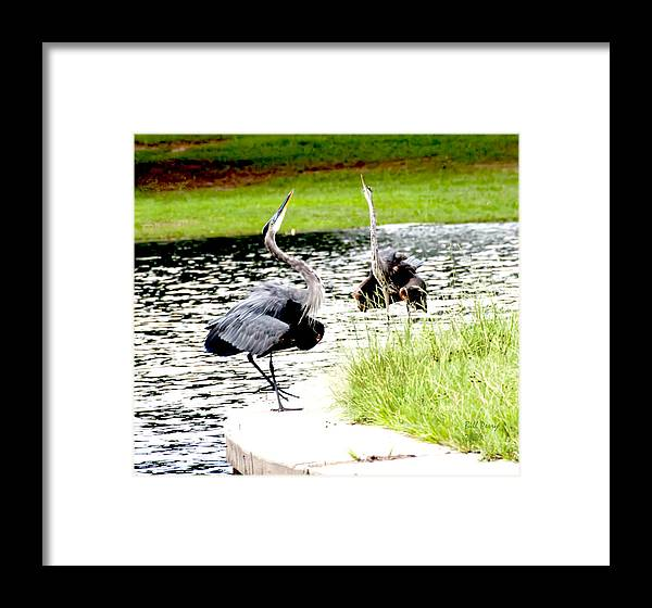 Waterfowl Framed Print featuring the photograph Blue Heron Mating Dance by Bill Perry