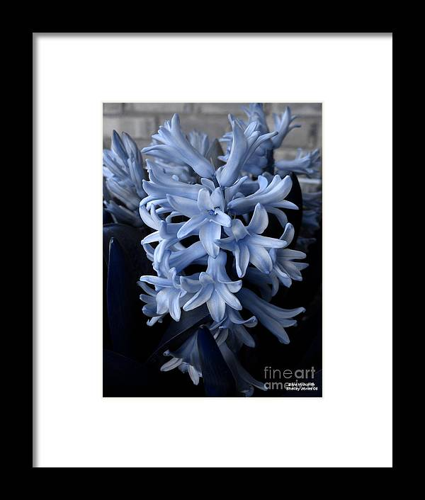 Blue Framed Print featuring the photograph Blue Hyacinth by Shelley Jones
