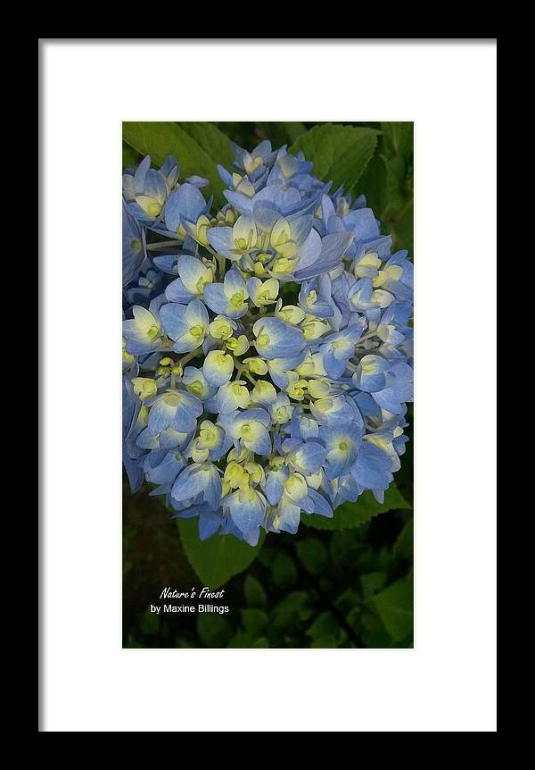 Hydrangeas Framed Print featuring the photograph Blue Hydrangea Bouquet by Maxine Billings