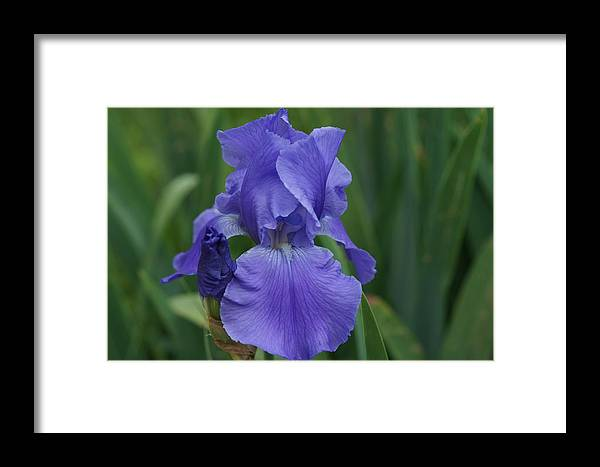 Blue Framed Print featuring the photograph Blue Iris by Carrie Goeringer