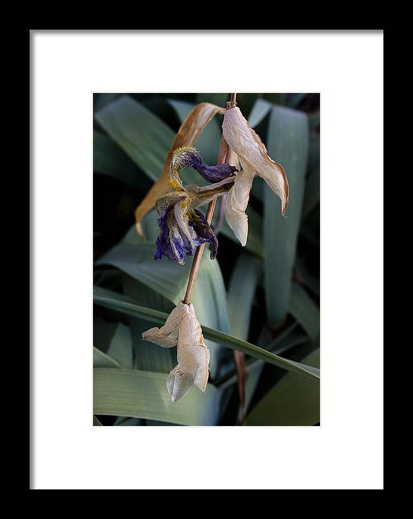 Flower Framed Print featuring the photograph Blue Irises Past Their Prime by David Eisenberg