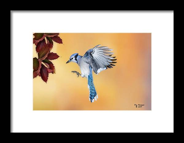 Jay Framed Print featuring the photograph Blue Jay Beauty by Peg Runyan
