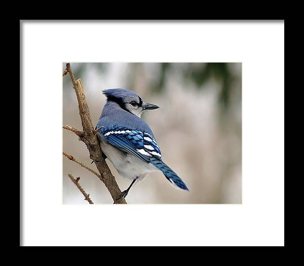 Blue Jay Framed Print featuring the photograph Blue Jay by Gaby Swanson