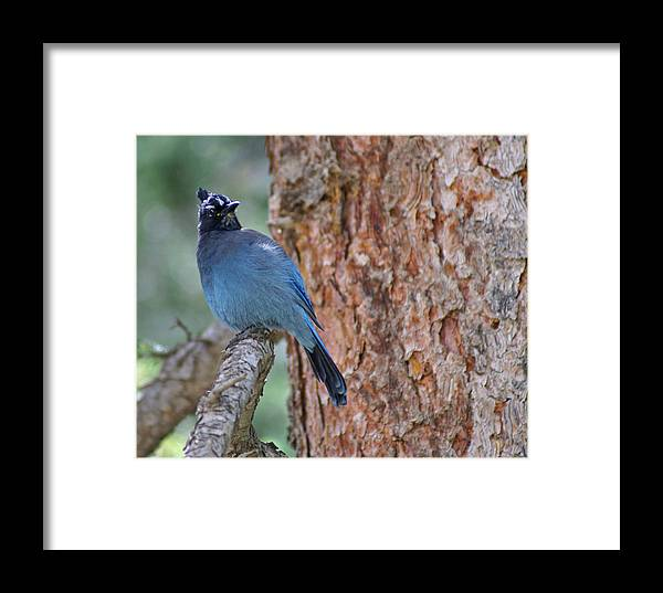 Blue Jay Framed Print featuring the photograph Blue Jay by Heather Coen