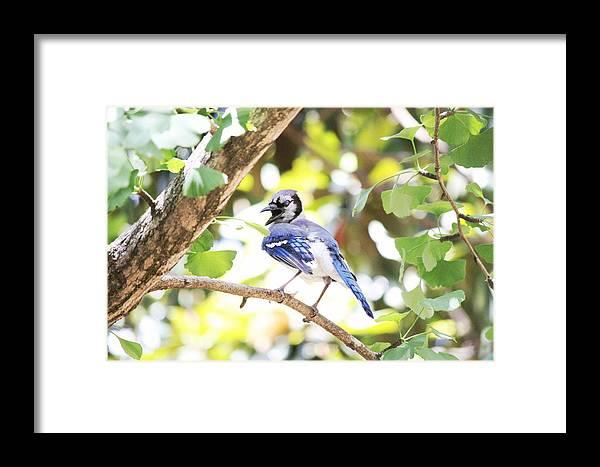 Blue Framed Print featuring the photograph Blue Jay by Kyle Ferguson