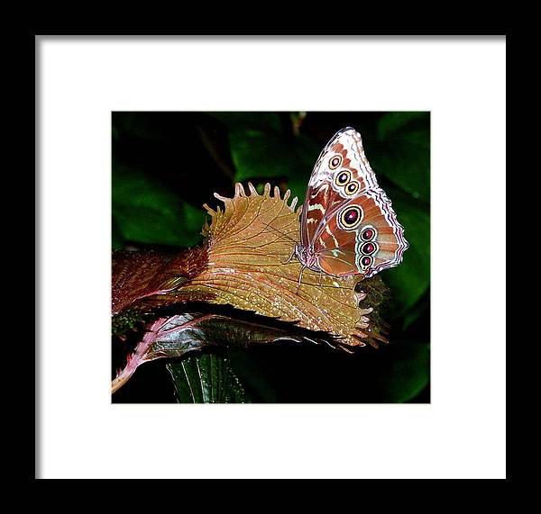 Butterfly Framed Print featuring the photograph Blue Morph Butterfly by Mindy Newman