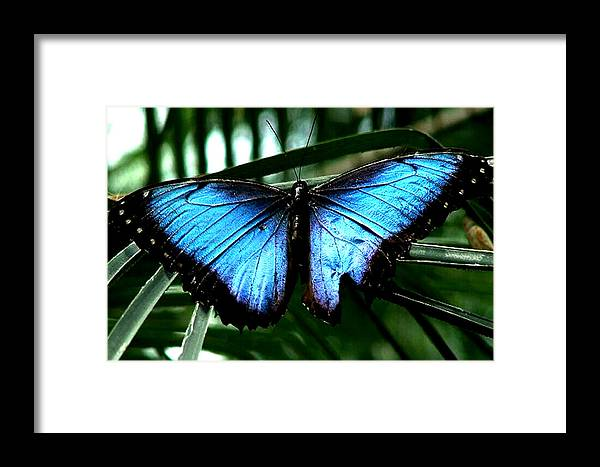 Blue Butterfly Morphm Animal Fly Flying Framed Print featuring the photograph Blue Morph by Diane Wallace