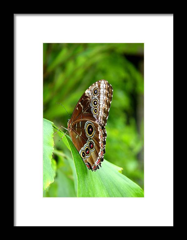 Insect Framed Print featuring the photograph Blue Morpheus At Rest by David Dunham