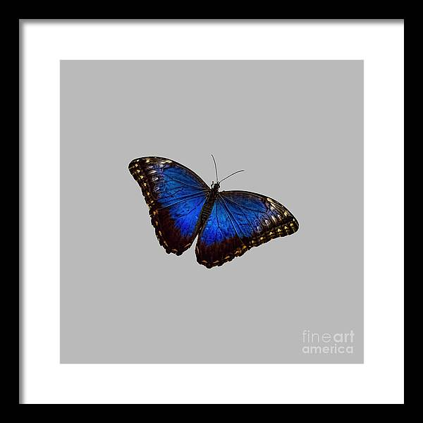 Blue Morpho Butterfly Framed Art Prints (Page #5 of 15) | Fine Art ...