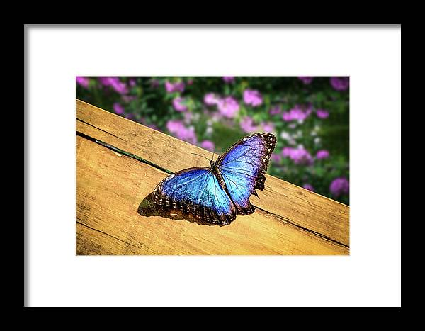 Butterfly Framed Print featuring the photograph Blue Morpho Butterfly On A Wooden Board by Tim Abeln